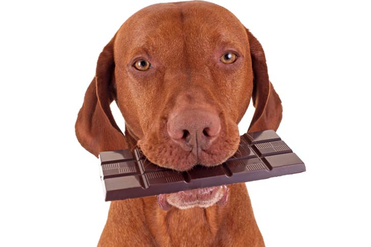 What If Your Dog Eats Chocolate Cake