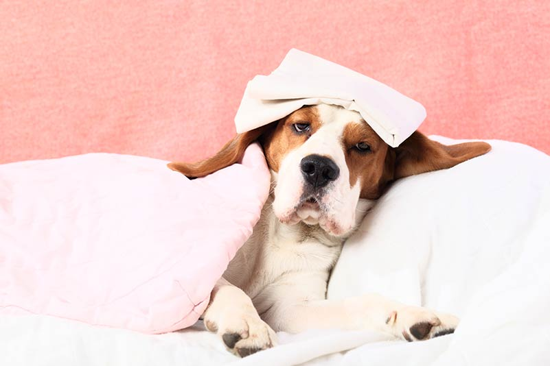 Fever in Dogs: Causes, Symptoms & Treatment