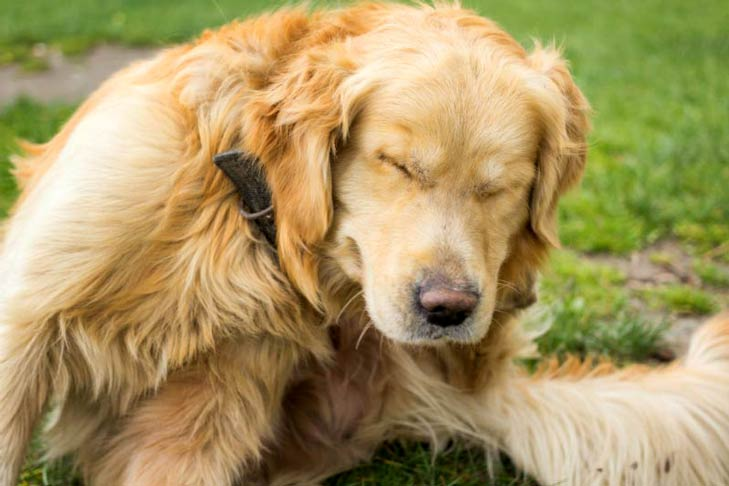 Dry Skin On Dogs Causes Symptoms