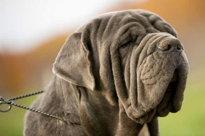 Full List of Mastiff Dog Breeds