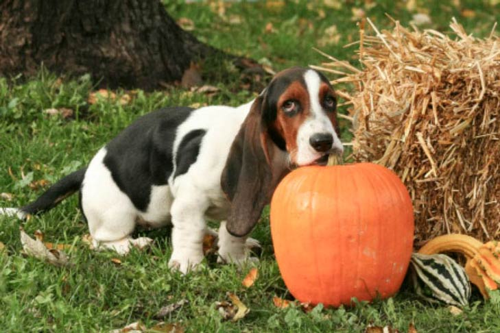 Pumpkin for Treating Dog Diarrhea