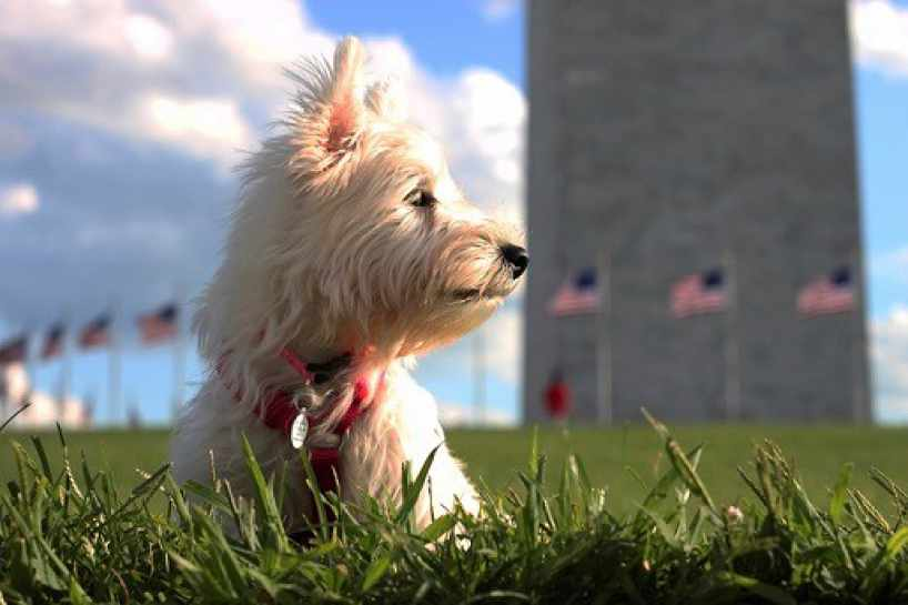 West Highland White Terrier in fronf of building with American flags.