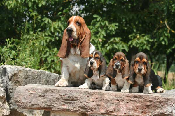 basset hound and puppies