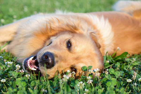 golden retriever in the grass