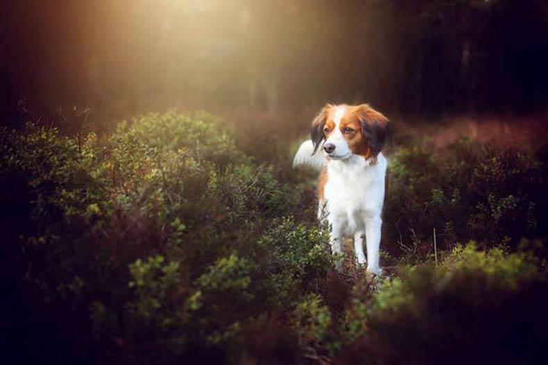 Nederlandse Kooikerhondje Woods
