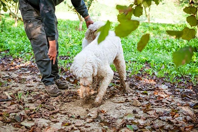 Odd Dogs Jobs Truffle Hunting Lagotto Romagnolo