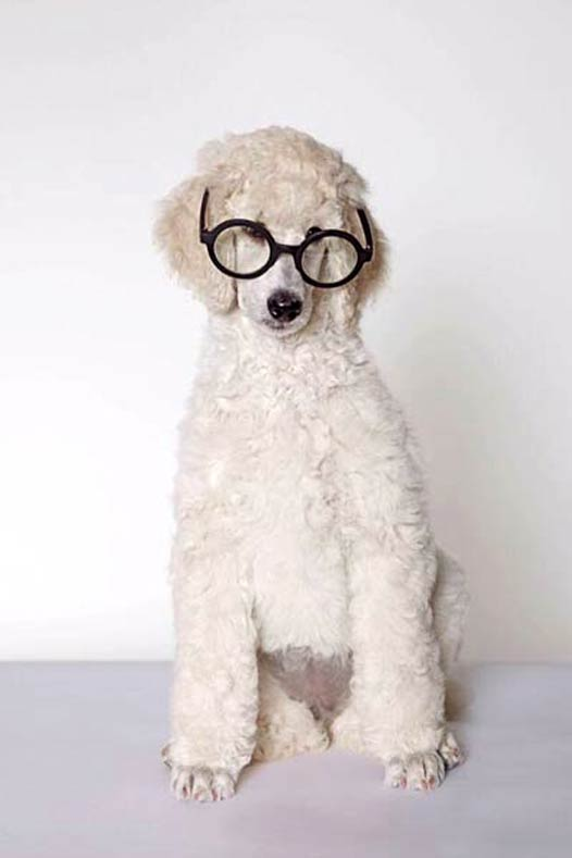 AKC Breeder Spotlight Oksana Fagenboym Rock 'N Rolla Poodles Poodle in Glasses