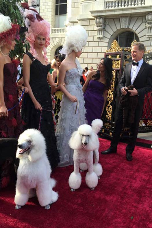 AKC Breeder Spotlight Oksana Fagenboym Rock 'N Rolla Poodles SF Opera