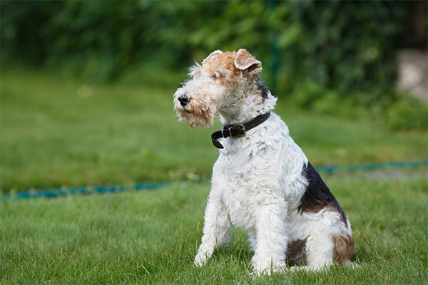 wire fox terrier haircut 15 facts about westminster s winningest breeds 5700