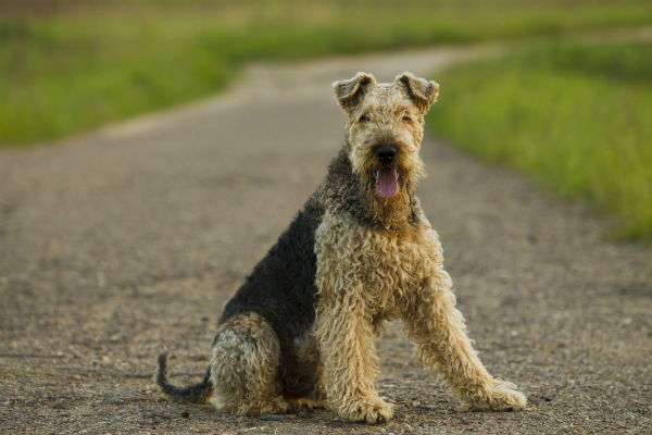 airedale_king_of_terriers