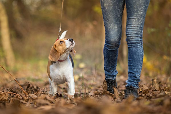 beagle-training-walk