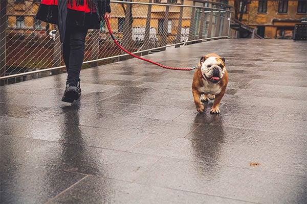 bulldog-walk