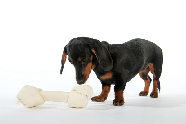 Dachshund looking at a rawhide bone