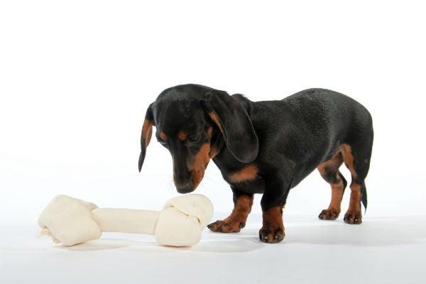 Perro salchicha mirando un hueso de cuero crudo