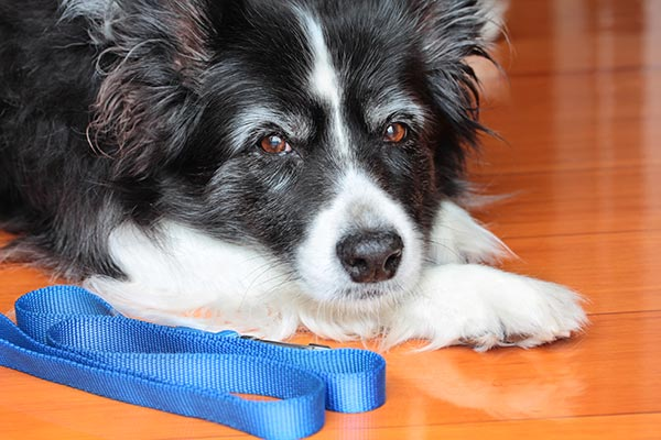 old-border-collie