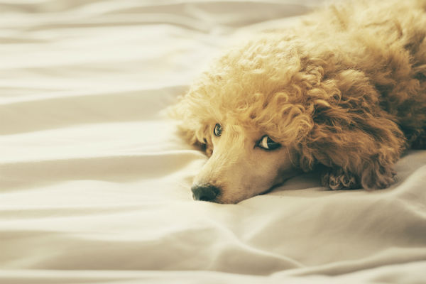 Dog Skin Cancer Types Symptoms And Treatment