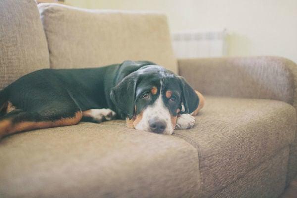 Thyroid Disease In Dogs