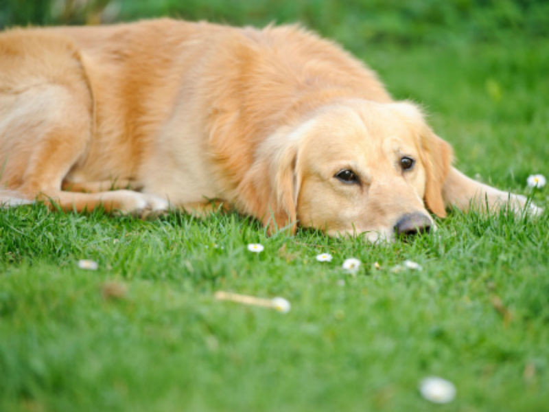 How To Naturally Treat Hypothyroidism In Dogs