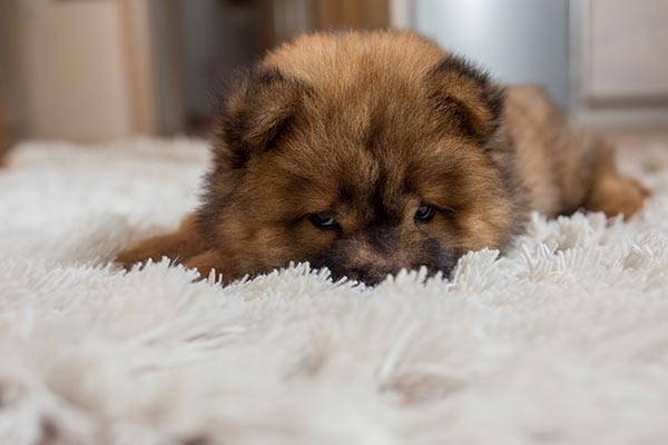 tired-chow-puppy