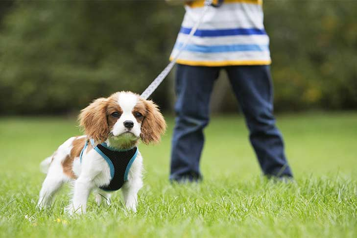 ffed3b0d8d5cb Leash Training: How to Leash Train a Dog or Puppy