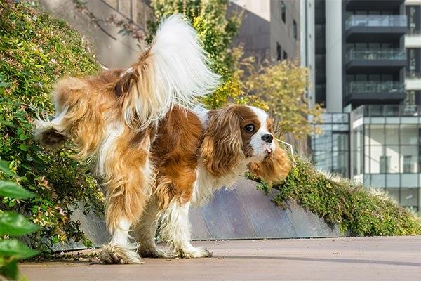 cavalier-spaniel-peeing-city-sidewalk-body