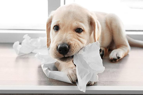 lab-puppy-chewing-toilet-paper-approved