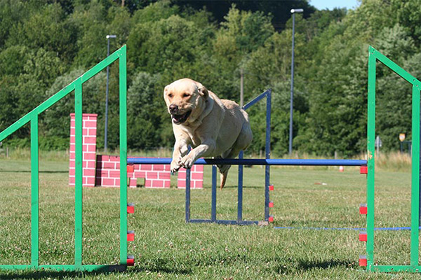 lab-yellow-agility-bar-jump-approved