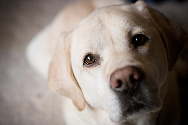 lab-yellow-eye-contact-closeup-approved
