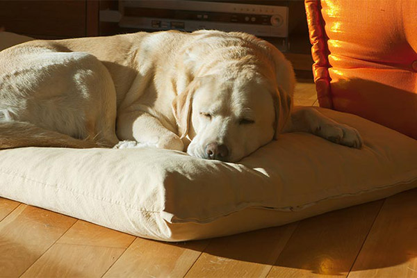 lab-yellow-sleeping-on-floor-pillow-approved