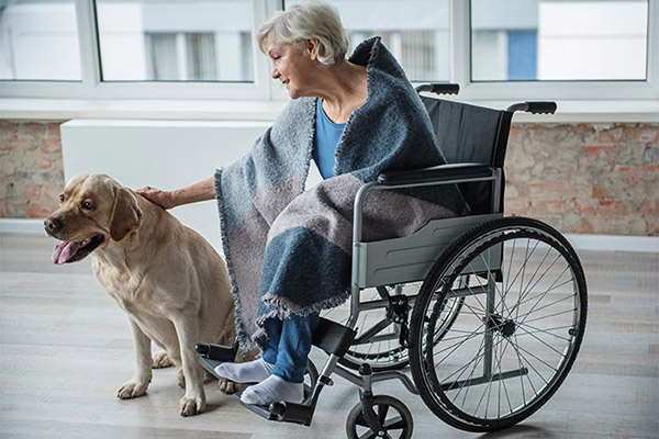 lab-yellow-therapy-dog-woman-in-wheelchair-approved