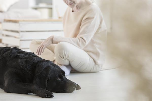 labrador-black-companion-therapy-dog-to-woman-body