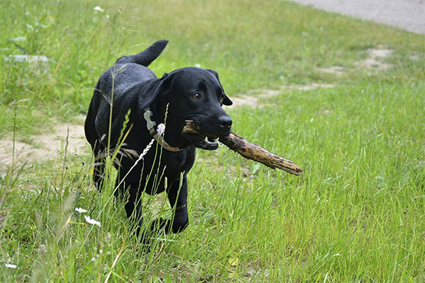 labrador-black-play-carrying-stick-approved