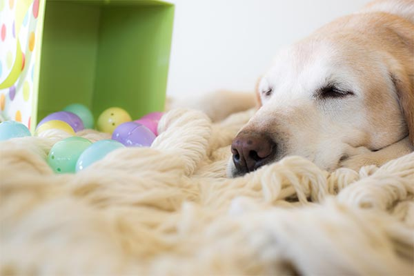 labrador-sleeping-with-easter-eggs-body