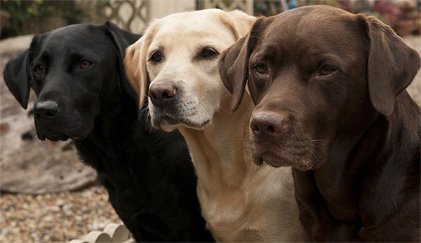 labradors-three-colors-closeup-approved-approved