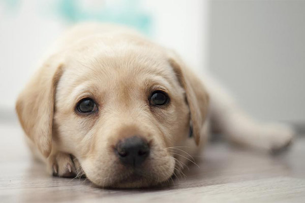 yellow-labrador-puppy-sweet-face-approved