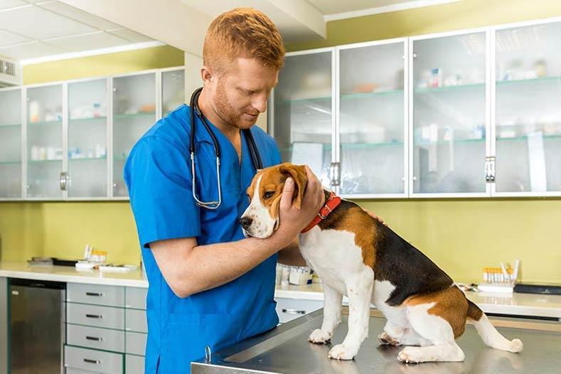 veterinary examing cute beagle dog at clinic